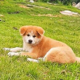 Собаки - Щенки акита ину, 0