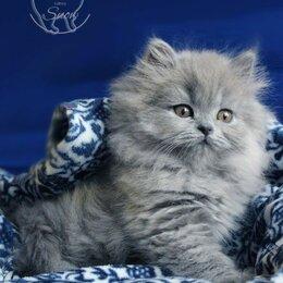 Кошки - Британские длинношерстные котята, 0