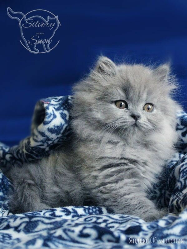 Британские длинношерстные котята по цене 30000₽ - Кошки, фото 0