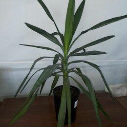 Комнатные растения - Юкка, 0