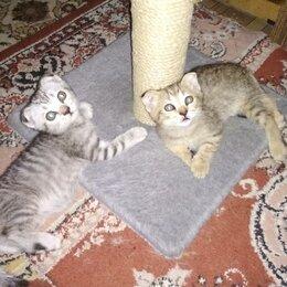 Кошки - Шотландский скоттиш страйт, 0