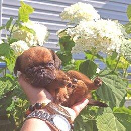 Собаки - Пти Брабансон мальчик рыжий из питомника Хрустальная мечта, 0