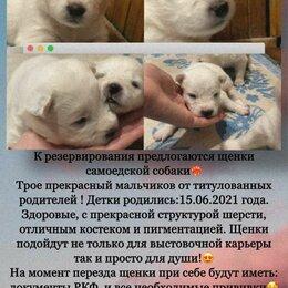 Собаки - Щенки самоедской собаки, 0
