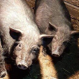 Сельскохозяйственные животные и птицы - продаем поросят на мясо, 0