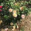 Роза ГЛОРИЯ ДЕЙ по цене 2390₽ - Рассада, саженцы, кустарники, деревья, фото 0