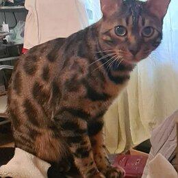 Животные - Пропал кот бенгал , 0