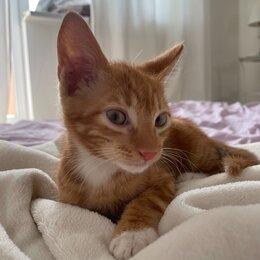 Животные - Рыжий котенок 2 месяца, 0