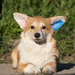 Собаки - Вельш-корги пемброк, 0