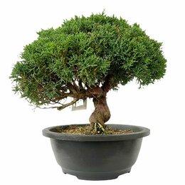Комнатные растения - Можжевельник Бонсай  в плошке, 0