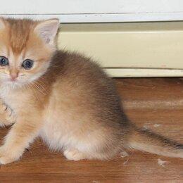 Кошки - Шотландские золотые котята, 0