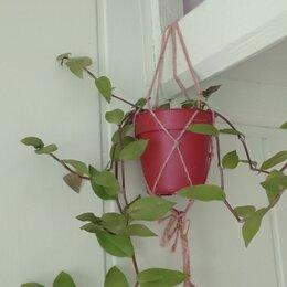 Комнатные растения - Традесканция Миртолистная, 0