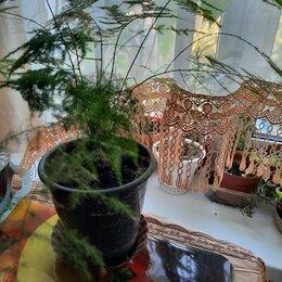 Комнатные растения - Аспарагус перистый в интерьере, 0