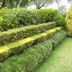 Кизильник блестящий по цене 200₽ - Рассада, саженцы, кустарники, деревья, фото 1