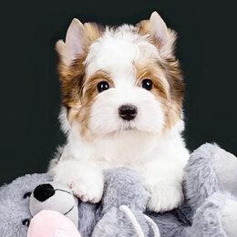 Собаки - Бивер ( Блюберри ) Йорк девочка, 0