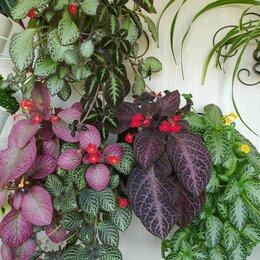 Комнатные растения - Эписция ампельная, 0