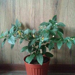 Комнатные растения - Перец комнатный, 0