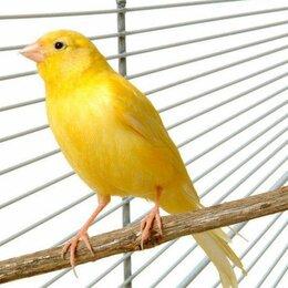 Птицы - Кенар певчий, 0