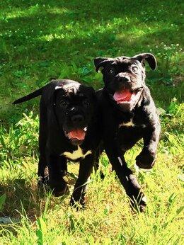 Собаки - Щенки кане-корсо, 0