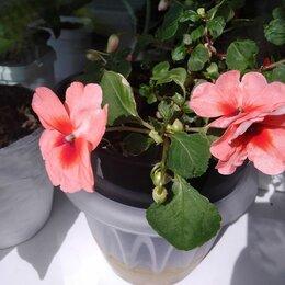 Комнатные растения - Бальзамин, фиалка, каланхоэ, 0