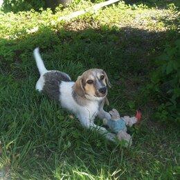 Собаки - Щенок 5 мес коротколапка, 0