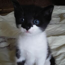 Кошки - Котёнок 6 сентября будет 2 месяца. Пацан. К туалету приучен., 0