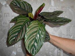 Комнатные растения - калатея, 0
