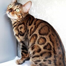 Кошки - Взрослая бенгалка, 0