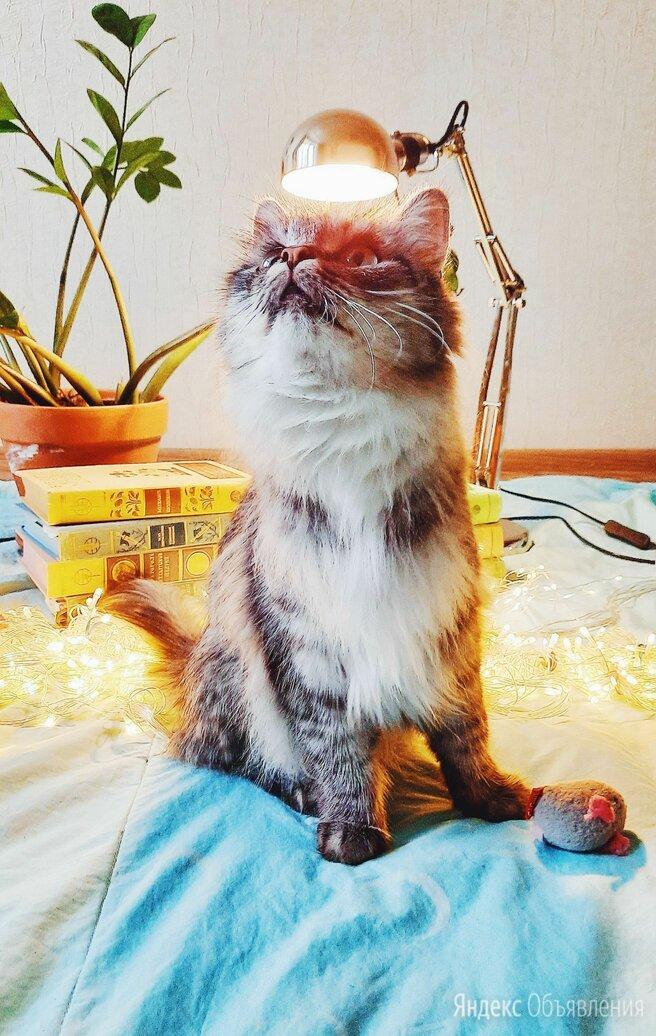 Котёнок помеси мейнкуна по цене 1₽ - Кошки, фото 0