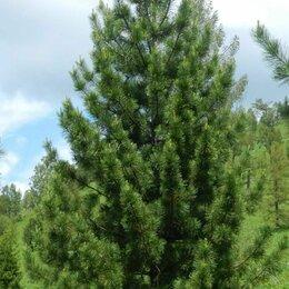 Рассада, саженцы, кустарники, деревья - Сосна сибирская, 0