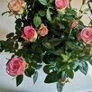 Ягодные и декоративные растения для Вашего сада по цене 150₽ - Рассада, саженцы, кустарники, деревья, фото 5