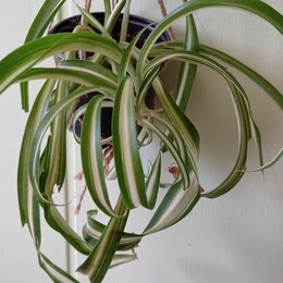 Комнатные растения - Хлорофитум полосатый кучерявый, 0