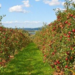 Рабочие - Яблочные плантации , 0