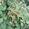 Ежевика Агавам по цене 1100₽ - Рассада, саженцы, кустарники, деревья, фото 1