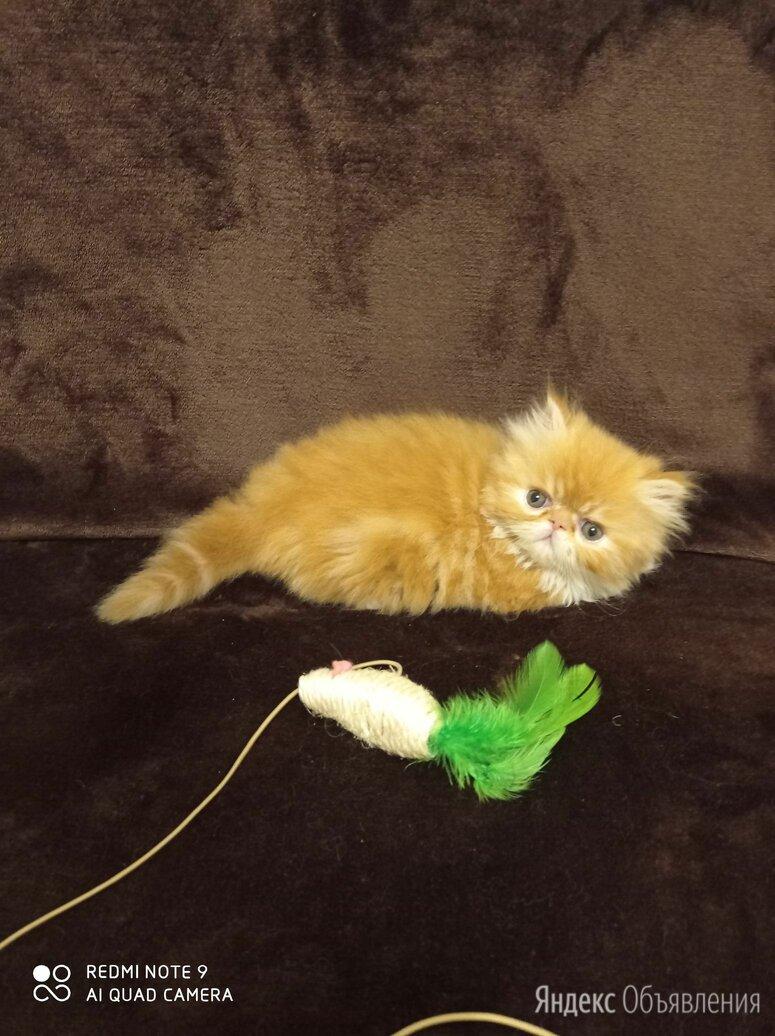 Персидские котята по цене 6500₽ - Кошки, фото 0