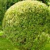 Ива на штамбе по цене 999₽ - Рассада, саженцы, кустарники, деревья, фото 1
