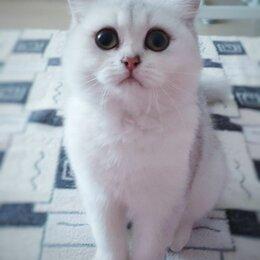 Кошки - Шотландская кошка, 0