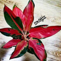 Комнатные растения - Аглаонема Suksoom Japang (домашняя) , 0