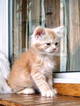 Кошки - Мейн Кун Джинджер, 0