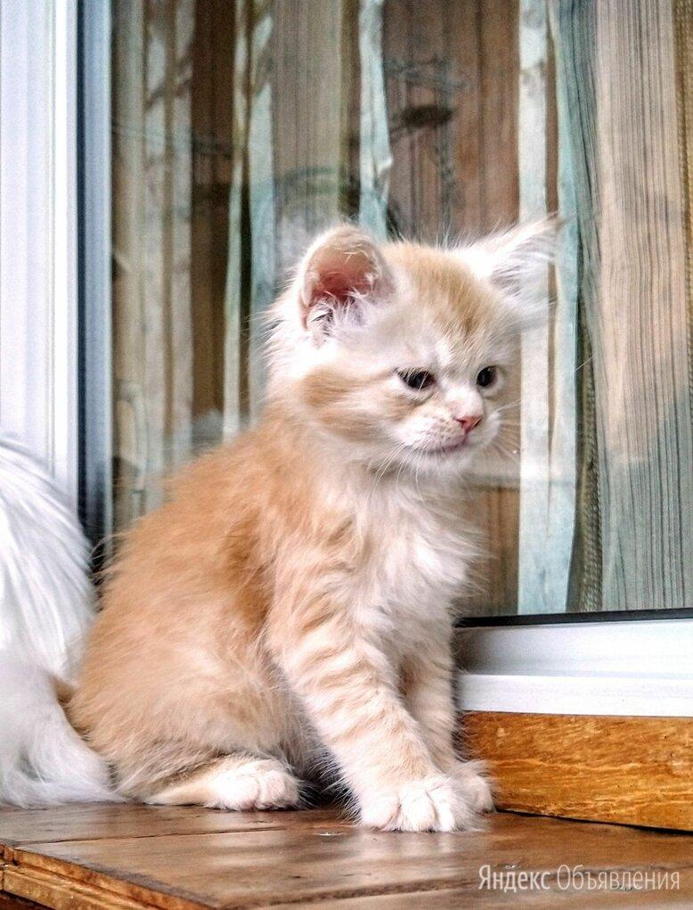 Мейн Кун Джинджер по цене 65000₽ - Кошки, фото 0