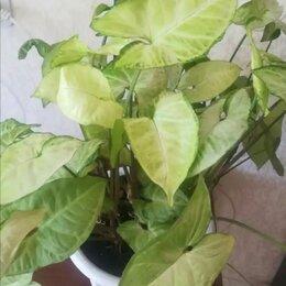 """Комнатные растения - Сингониум """"White Batterfly"""" , 0"""