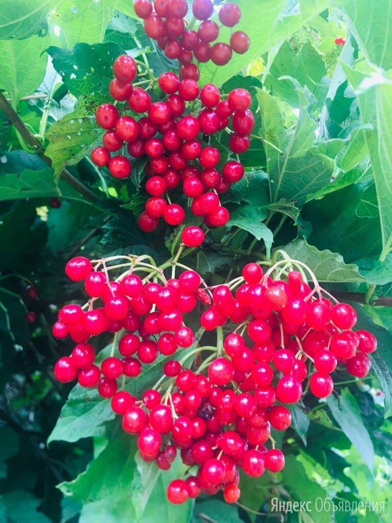 Калина ягоды по цене 300₽ - Продукты, фото 0