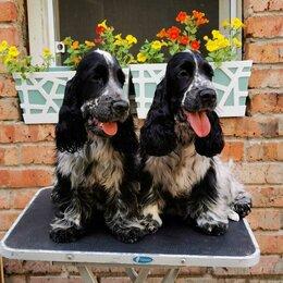 Собаки - Английский кокер спаниель, 0