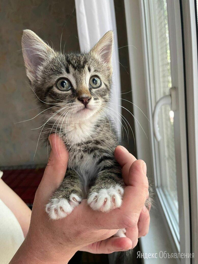 Ласковая ручная малышка Ника 2 мес ищет дом по цене даром - Кошки, фото 0