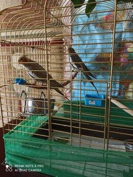 Птицы - Продаются птенцы кореллы, самцы 3 месяца.…, 0