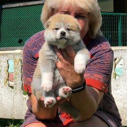 Собаки - девочки акита-ину, 0