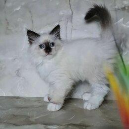 Кошки - Невская маскарадная кошка, 0