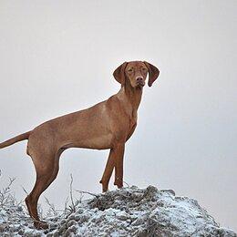 Собаки - Щенки венгерской выжлы, 0