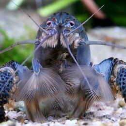 Аквариумные рыбки - Креветки для аквариума (своего разведения), 0