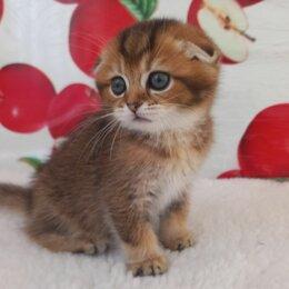 Кошки - Шотландская вислоухая золотая шиншилла, 0