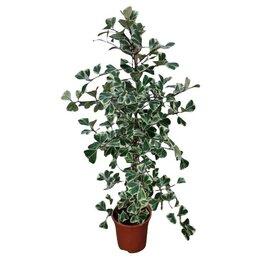 Комнатные растения - Фикус Триангуларис Свитхарт, 0